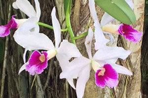 Beautiful orchids at Puna Gold Coffee & Cacao Estate