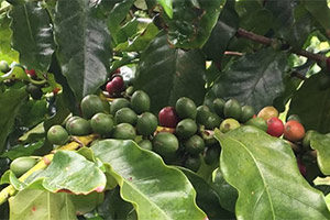 Puna Gold Coffee & Cacao Estate FARM TOURS Personally Conducted by Chef Now Available!